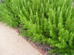 flower(0.0), english lavender(0.0), grass(0.0), rosemary(0.0), lawn(0.0), shrub(1.0), southernwood(1.0), tree(1.0), plant(1.0), herb(1.0),