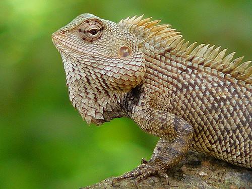 Calotes versicolor | The Reptile Database