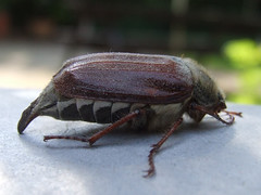 japanese rhinoceros beetle(0.0), arthropod(1.0), scarabs(1.0), animal(1.0), invertebrate(1.0), insect(1.0), macro photography(1.0), fauna(1.0), dung beetle(1.0), close-up(1.0),