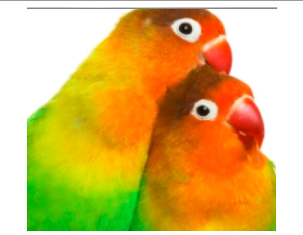 lovebirds for wedding present