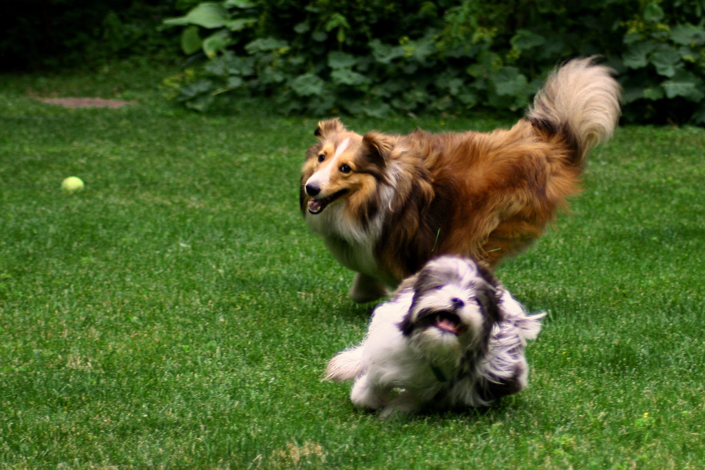 Dogs playing.. fixed
