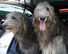 animal sports(0.0), hound(0.0), pumi(0.0), sighthound(0.0), sports(0.0), petit basset griffon vendã©en(0.0), polish lowland sheepdog(0.0), glen of imaal terrier(0.0), spinone italiano(0.0), bergamasco shepherd(0.0), collie(0.0), goldendoodle(0.0), afghan hound(0.0), dog sports(1.0), dog breed(1.0), animal(1.0), dog(1.0), schnoodle(1.0), scottish deerhound(1.0), pet(1.0), otterhound(1.0), mammal(1.0), irish wolfhound(1.0), catalan sheepdog(1.0), sapsali(1.0), cã£o da serra de aires(1.0),
