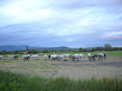 Horses in Southern France