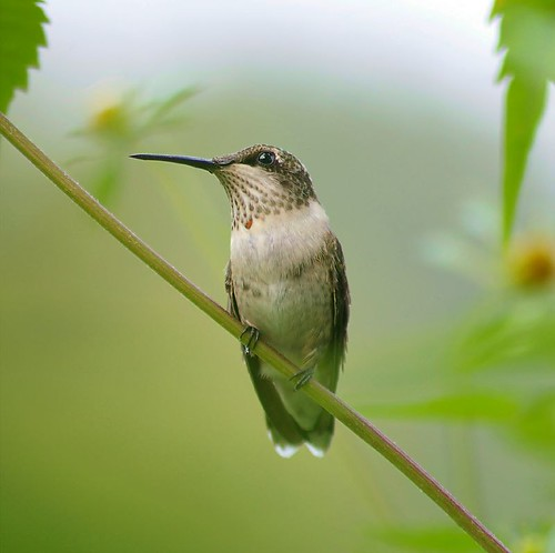 Immature male Ruby-throated hummingbird...