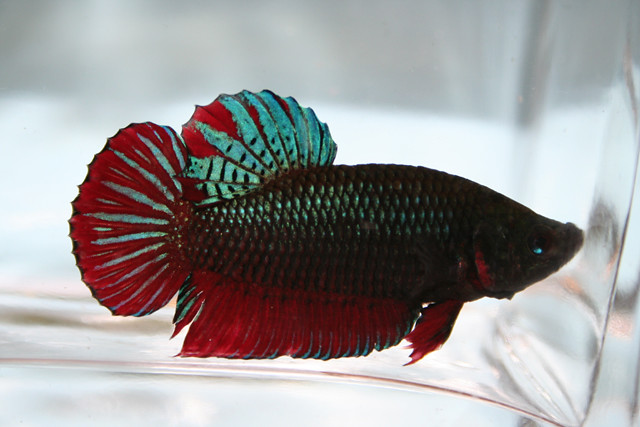 Betta Plakat male Flickr - Photo Sharing!