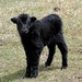 2010 Imperial Yak Calf - Lars by Grunniens Yak Ranch