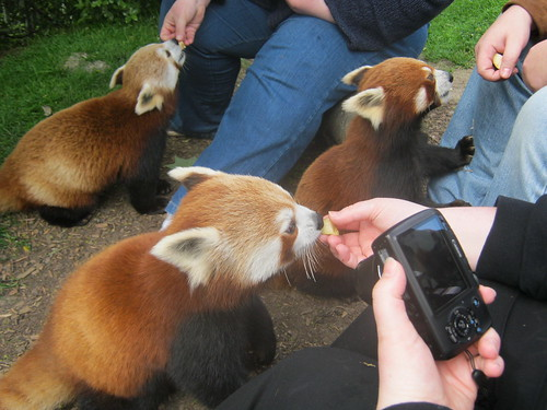 red panda huddle