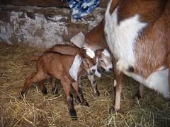 animal, mammal, goats, domestic goat, fauna, cattle,
