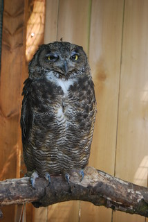 Julio the great horned owl