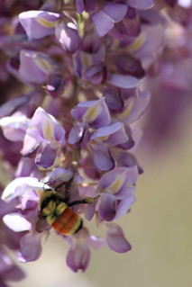 Wisteria w/bumblebee (Bombus huntii)