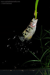 Archerfish, by Scott Linstead