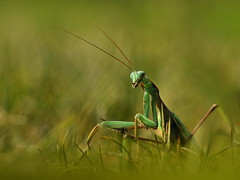 Mantis, by EK