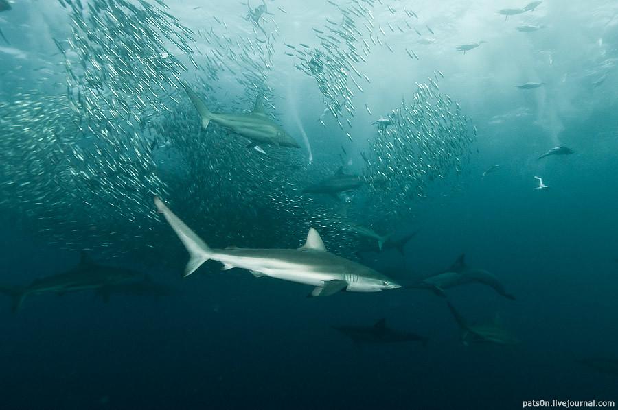 the sardine run #43