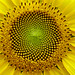 SunFlower: the Fibonacci sequence, Golden Section by lucapost