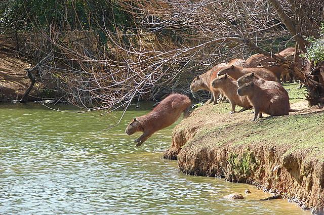 grupo de Carpincho tomando agua