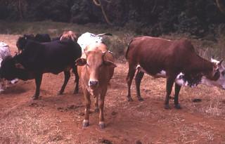 Maasai cattle, Kenya