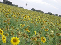 sunflower seed(0.0), grassland(0.0), asterales(1.0), annual plant(1.0), prairie(1.0), agriculture(1.0), sunflower(1.0), flower(1.0), field(1.0), yellow(1.0), plain(1.0), wildflower(1.0), meadow(1.0),