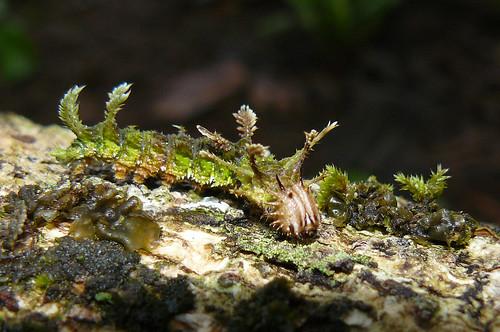 Moss-mimicking caterpillar of Adelpha serpa selerio (Nymphalidae), Panama