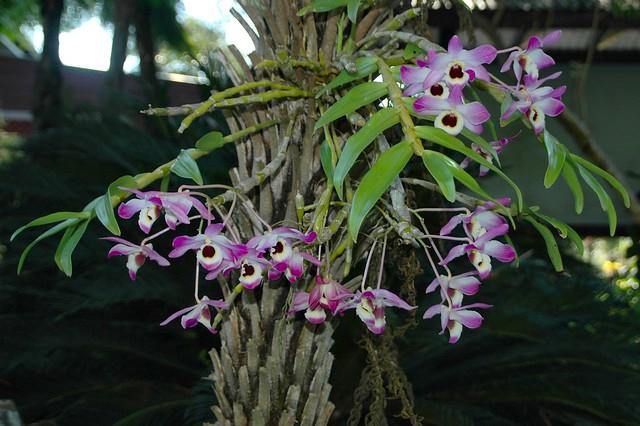 Dendrobium nobile or hybrid