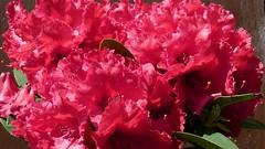 carnation, flower, pink, petal, azalea,