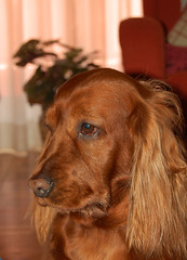 dog breed, animal, dog, pet, irish setter, setter, english cocker spaniel, carnivoran,