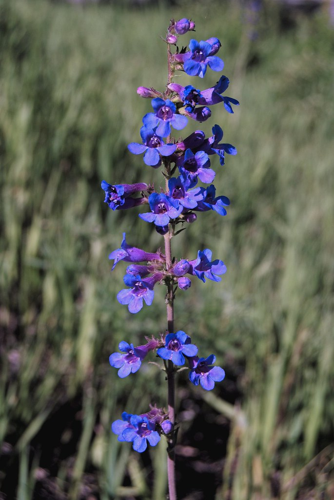 Penstemon mensarum (Grand Mesa penstemon)