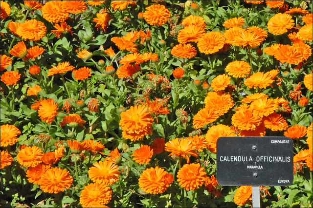 Calendula Officinalis (Real Jardin ...
