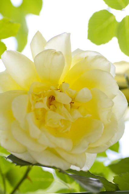 Photo:Rose-Elegance By koizumi