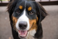 appenzeller sennenhund(0.0), dog breed(1.0), animal(1.0), dog(1.0), greater swiss mountain dog(1.0), entlebucher mountain dog(1.0), australian shepherd(1.0), bernese mountain dog(1.0), carnivoran(1.0),