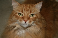 domestic long-haired cat, nose, animal, maine coon, british semi-longhair, small to medium-sized cats, pet, fauna, siberian, close-up, cat, carnivoran, whiskers, norwegian forest cat,