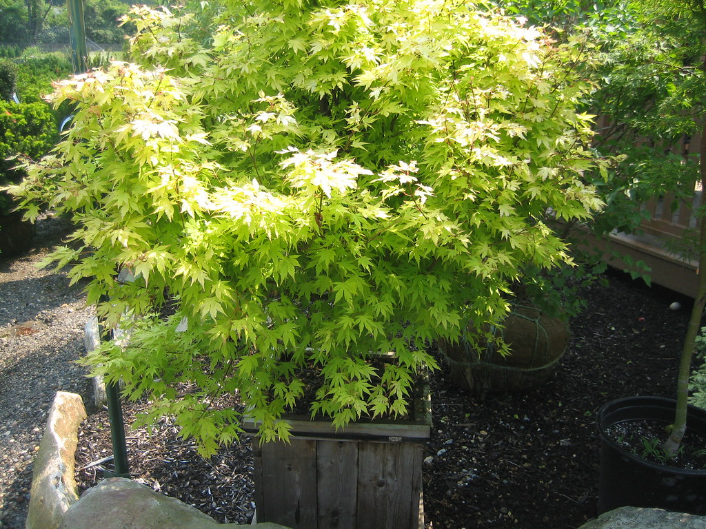 Acer Palmatum Orange Dream 2 At Martin Viette George0102 Flickr