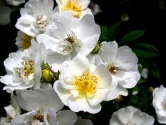 blossom, shrub, garden roses, flower, plant, macro photography, flora, rosa multiflora, rosa pimpinellifolia, petal,