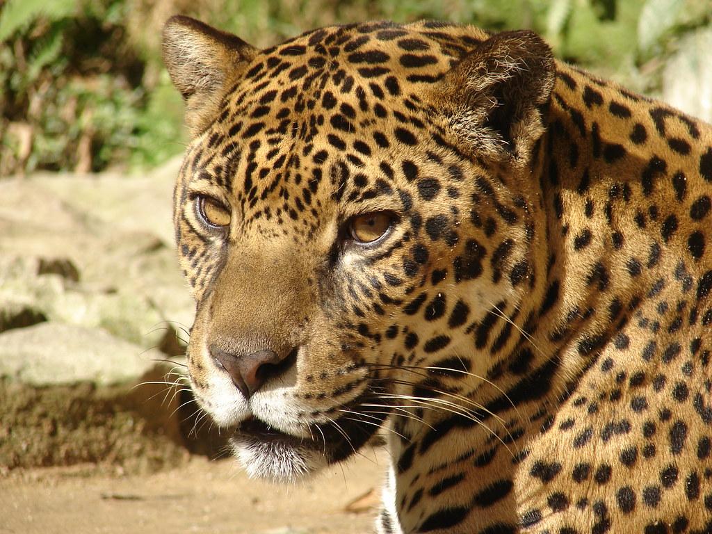 Fabuloso Jaguar (Panthera onca) · iNaturalist.org BL03