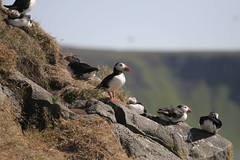 animal, puffin, charadriiformes, fauna, bird, seabird, wildlife,