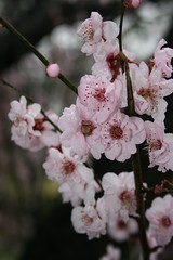 shrub(0.0), cherry(0.0), food(0.0), blossom(1.0), flower(1.0), branch(1.0), plant(1.0), produce(1.0), cherry blossom(1.0), spring(1.0), pink(1.0), petal(1.0),