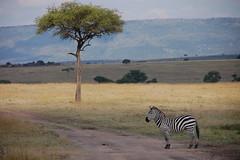 The Lonely Zebra
