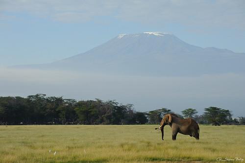 elephant kilimanjaro kenya africanelephant amboseli loxodontaafricana africanbushelephant