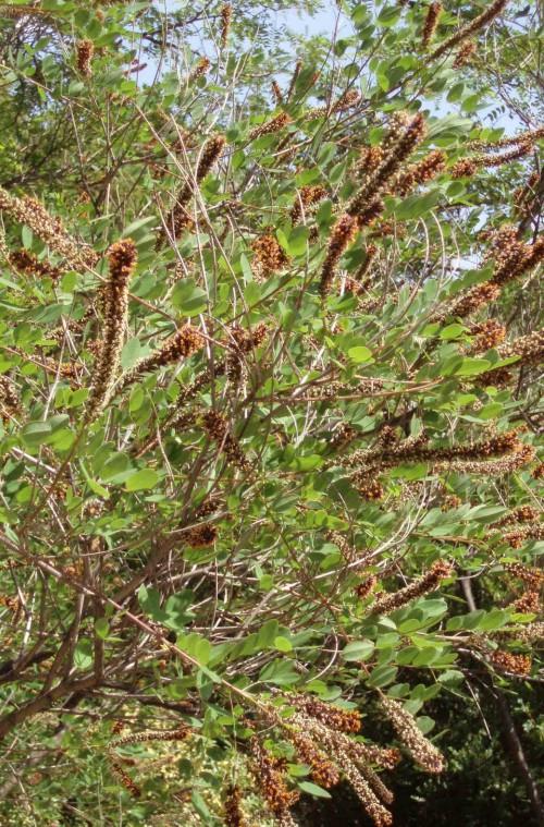 Amorpha fruticosa 4681554090_666b8230b6_o