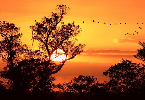 trees sunset wild nature birds unitedstates florida flock flight silhouettes formation saturdaynight ibis wetlands cloudscape southflorida vformation bocaratonflorida sunsetbirdsinflight