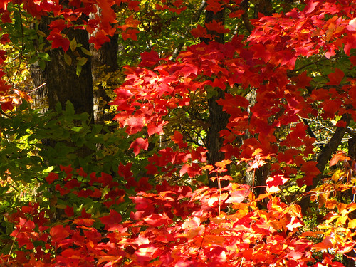 red leaf fall (1 of 1)