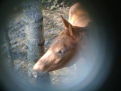 Equus caballus n°1