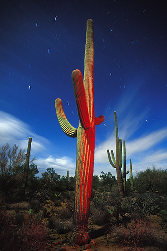 Monsoon Saguaros