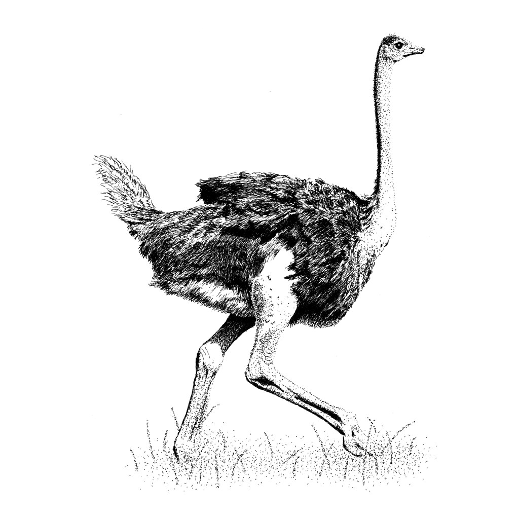 ostrich drawing for kids in simple steps