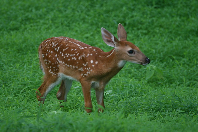 Img 3358 white tailed deer fawn flickr photo sharing