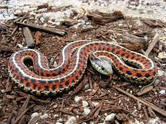 boas(0.0), eastern diamondback rattlesnake(0.0), boa constrictor(0.0), hognose snake(0.0), grass snake(0.0), garter snake(0.0), sidewinder(0.0), anguidae(0.0), lacertidae(0.0), kingsnake(0.0), animal(1.0), serpent(1.0), snake(1.0), reptile(1.0), fauna(1.0), scaled reptile(1.0), wildlife(1.0),