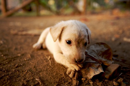 Puppy - Koh Chang, Thailand