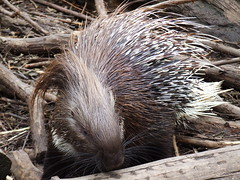 rodent(0.0), echidna(1.0), animal(1.0), mammal(1.0), fauna(1.0), whiskers(1.0), wildlife(1.0),