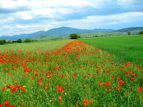 A Field Of Wild Poppies (2)