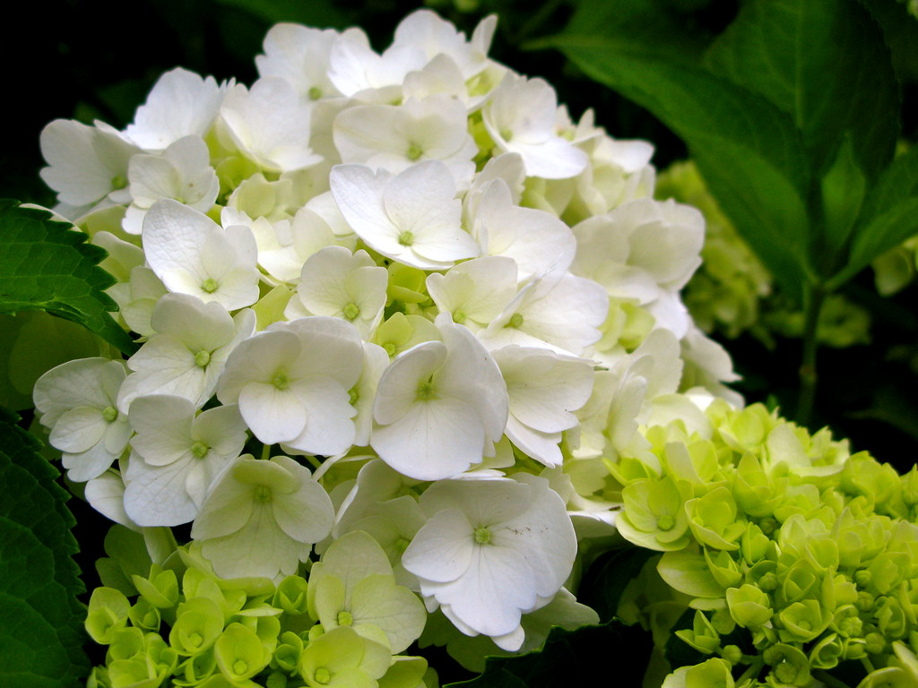 hydrangea in full bloom