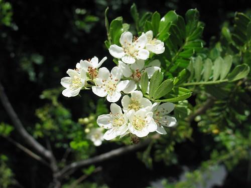 Osteomeles Anthyllidifolia ʻŪlei Or Hawaiian Hawthorn